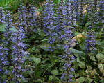 ajuga_reptans_purple_brocade