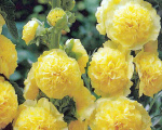 alcea_rosea_chaters_yellow