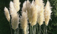 cortaderia_selloana_white_feather
