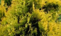 thuja_occidentalis_europa_gold