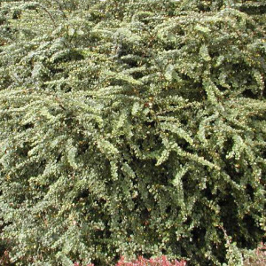 berberis_thunbergii_green_ornament