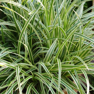 carex_morrowii_vanilla_ice