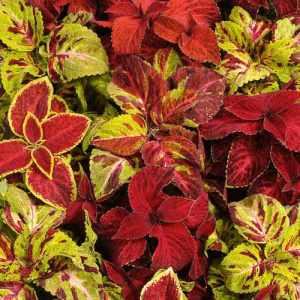 coleus_wizard_mix