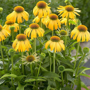 echinacea_summer_breeze
