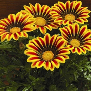gazania_rigens_kiss_yellow_flame