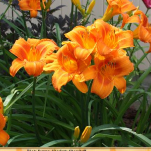 hemerocallis_rocket_city