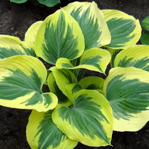 hosta_majesty