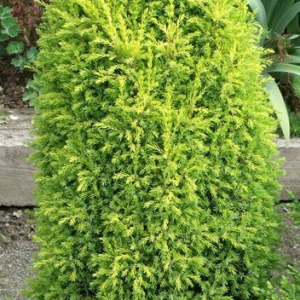 juniperus_communis_gold_cone