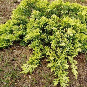 juniperus_horizontalis_golden_carpet
