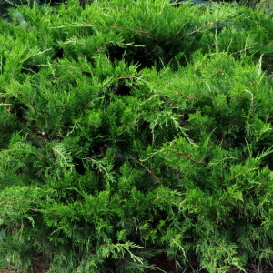 juniperus_x_media_mint_julep