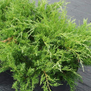 juniperus_x_media_mint_julep_2