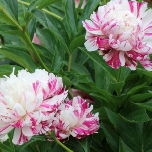 paeonia_candy_stripe2
