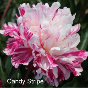 paeonia_candy_stripe_1565011232