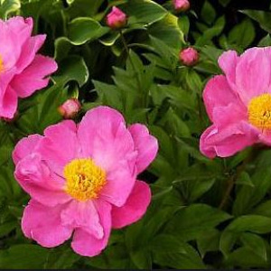 paeonia_dancing_butterfly