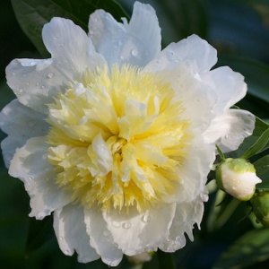paeonia_lactiflora_honey_gold
