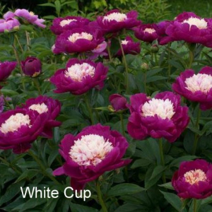 paeonia_white_cup_130198519
