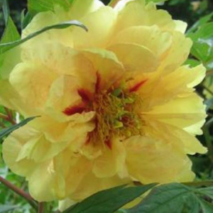 paeonia_yellow_waterlilly