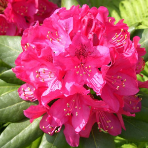 rhododendron_germania