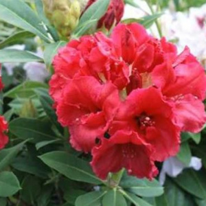 rhododendron_red_jack