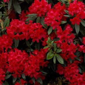 rhododendron_vulcan