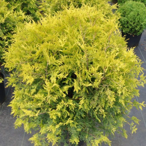 thuja_golden_globe