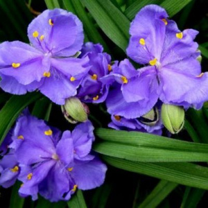 tradescantia_and__macs_double
