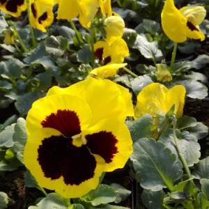viola_wittrockiana_select_yellow-eye