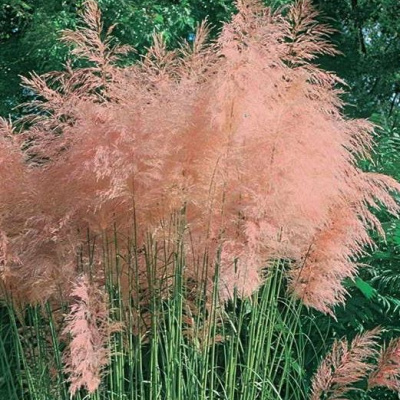 cortaderia_pink_feather