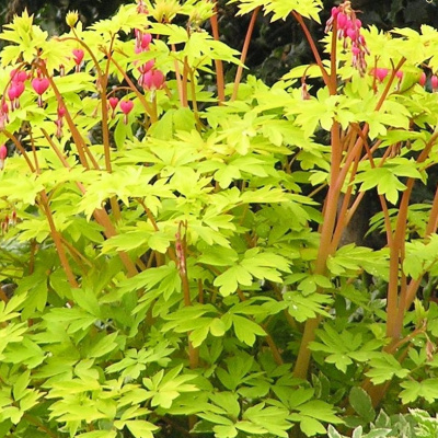 dicentra_spectabilis_gold_heart