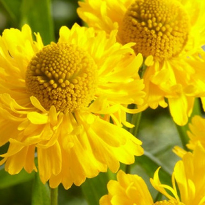 helenium_double_trouble
