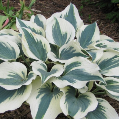hosta_great_escape