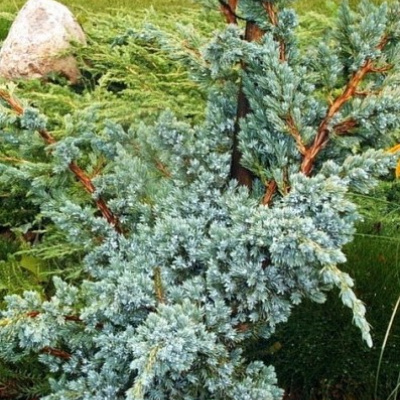juniperus_chinensis_blue_alps