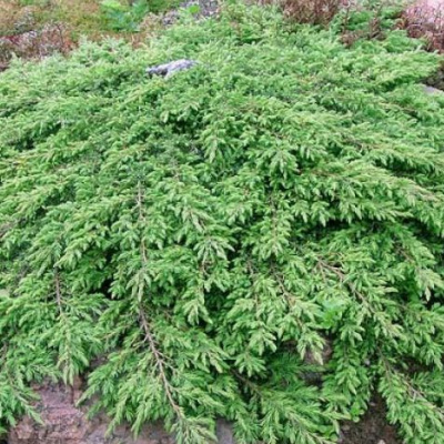 juniperus_communis_green_carpet