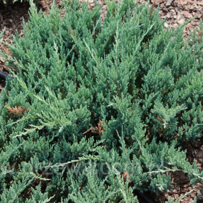 juniperus_horizontalis_blue_chip