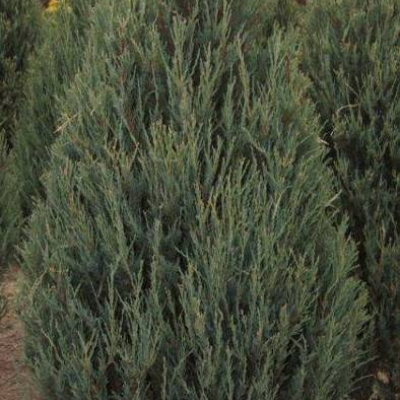 juniperus_scopulorum_skyrocket
