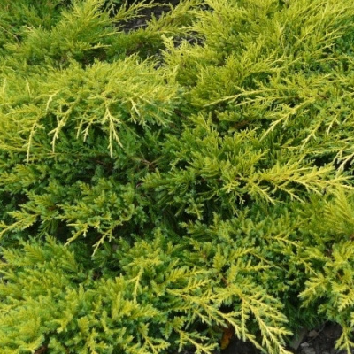 juniperus_x_pfitzeriana_goldkissen