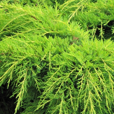 juniperus_x_pfitzeriana_old_gold