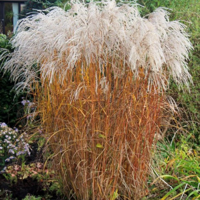 miscanthus_sinensis_champagner