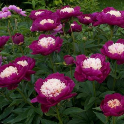 paeonia_white_cup