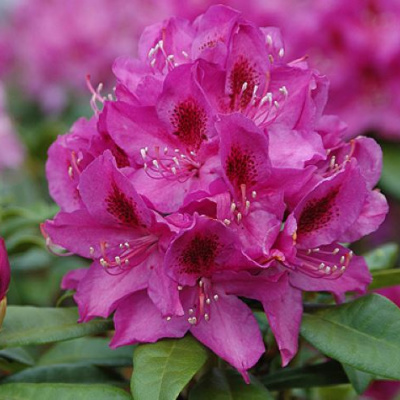 rhododendron_anah_kruschke