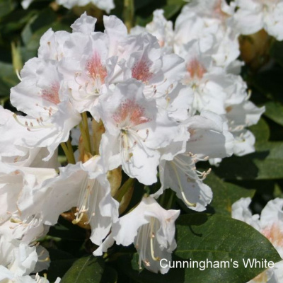 rhododendron_cunninghams_white