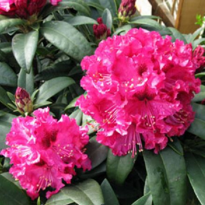 rhododendron_marie_forte