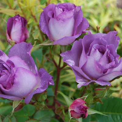 rosa-blue-for-you