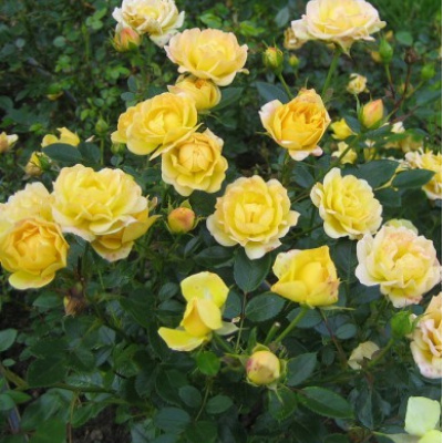 rosa_yellow_fairy