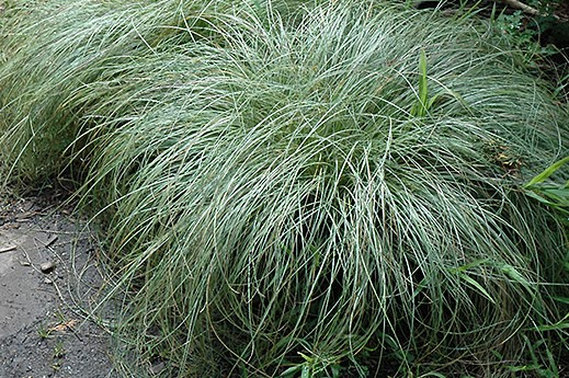 Carex-comans-Frosted-Curls