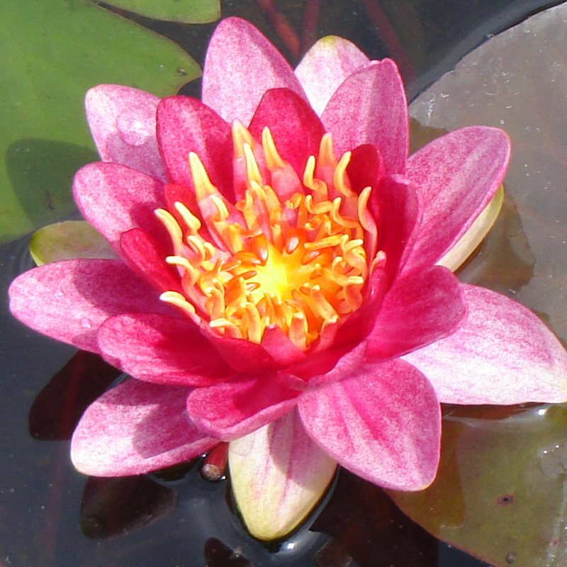 Nymphaea Perrys Baby Red