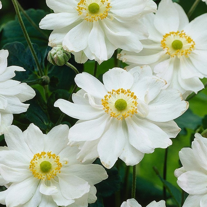 Anemone-japonica-Whirlwind