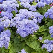 Ageratum houstonianum  Hawaii Blue