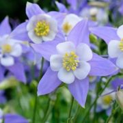 Aquilegia-caerulea-Heavenly-Blue