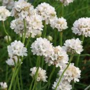 Armeria-maritima-Morning-Star-White